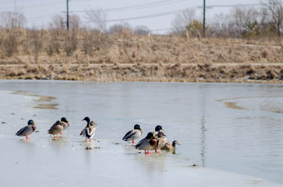 the monon center ducks