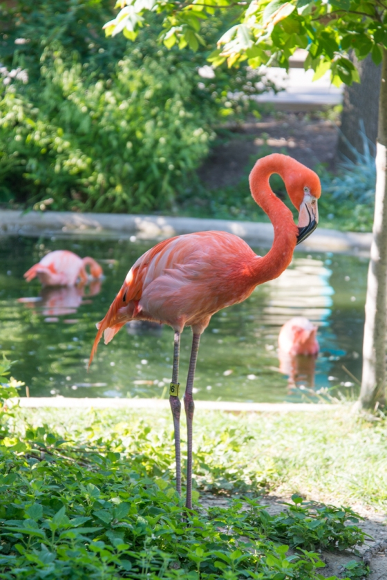 Indianapolis Zoo Flamingo