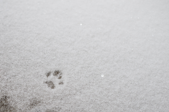 Cat Footprint in Snow