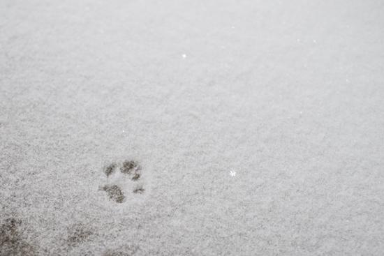 Cat Footprint in Snow